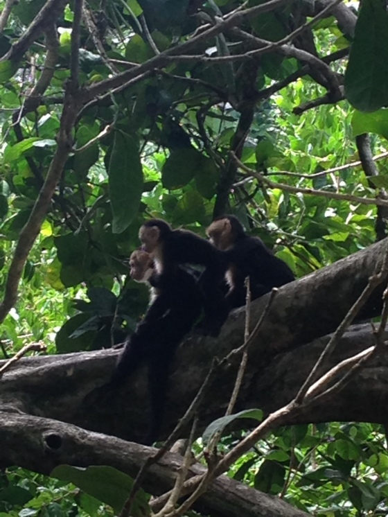 Monkeys in the trees in Manuel Antonio National Park